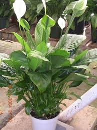 tropical office plants. Splendid Office Interior Tropical Plants Pictures And