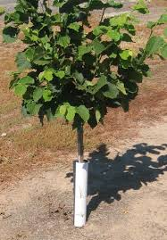 tree guard protecting a hazlenut tree nurserymen and orchardists have been using corrugated plastic