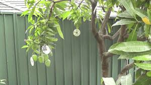 Protect Your Fruit Trees From Birds And Possum Using This Simple How To Protect Your Fruit Trees From Squirrels