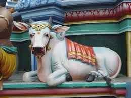 Image result for sacred cow india