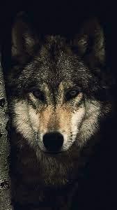 Wolf Hd Wallpaper Iphone X - wallpaper