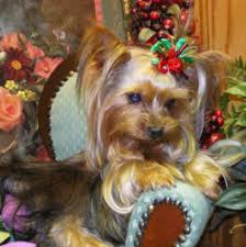 cute yorkie puppies for sale. Exellent For Cute Yorkies For Sale With Yorkie Puppies For Sale U