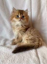 Mörrenmorcogi brit cica tenyészet - Home   Facebook