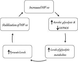 Glycolysis Flow Chart Flow Chart Depicting How Aerobic Glycolysis Stimulated By