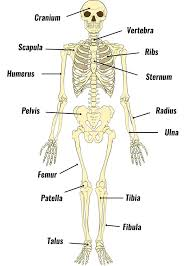 The Human Skeleton Bones Structure Function Teachpe Com