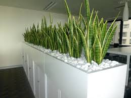 office plant displays. Exellent Office Planter Box Of Mother In Laws Tongue For A Corporate Office Room Divider  Plants Supplied Nature Plant Displays