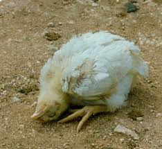 Chicken Disease Chart 14 Major Chicken Diseases Symptoms Prevention And Treatments