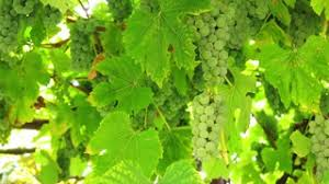 Image result for pictures of grapes on the vine