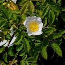 Rosa arvensis | Online Atlas of the British and Irish Flora