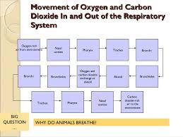 Respiratory System Flow Chart Comparative Anatomy Respiratory System