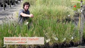 Pennisetum Alopecuroides Hameln Of Lampenpoetsersgras Informatie