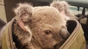 koala essay a koala at the taronga zoo in sydney credit anoek de groot agence presse