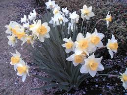 legend of narcissus gardens of narcissus or daffodils in nature in  gardens of narcissus or daffodils in nature in a spring flowering bulb narcissus is the of