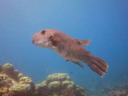 interesting facts about puffer fish