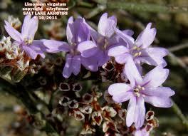 Limonium virgatum - Savvas Tryfonos Cyprus Plants ...