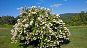 11 best trees and shrubs with white flowers