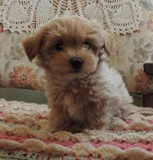 cute puppies for sale 2014. Fine Sale Ripley Is A Maltipoo Male Puppy For Salesee All Of Our Available On Cute Puppies For Sale 2014