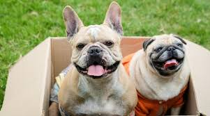 French Bulldog Height Chart Pug Vs French Bulldog Breed Differences Similarities