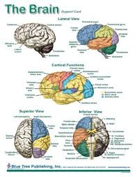 Laminated Anatomical Charts Brain Anatomical Charts Laminated