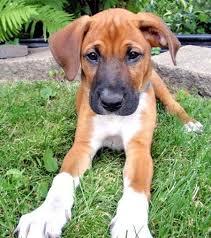 german shepherd boxer mix puppies. Beautiful German Boxer German Shepherd Mix Intended German Shepherd Boxer Mix Puppies Kyra Pets
