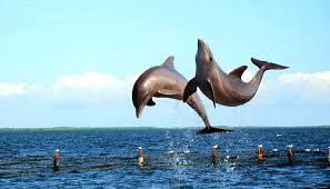 melihat-lumba-lumba-lucu-dengan-mata-telanjang-di-teluk-kiluan
