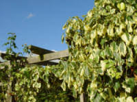 CLIMBING PLANTS FOR SHADED WALLS AND FENCES The Garden Of EadenWall Climbing Plants For Shade