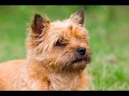 cairn terrier. Wonderful Terrier Intended Cairn Terrier T