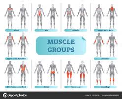 Bodybuilding Anatomy Poster Female Muscle Groups