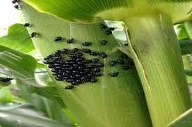 Corn Flea Beetle Corn Flea Beetle Pest Management Farms Com