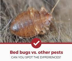 39+ Varied Carpet Beetle Bed Bugs Gif