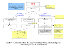 Glycolysis Flow Chart This Flow Chart Outlines Both The Anaerobic And Aerobic