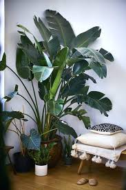 big house plants extra large indoor plants looking stunning big house plants trees big house plants