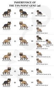 Staffy Colours Chart Tri American Bully Breeding Chart Bully Pitbull Bully Dog
