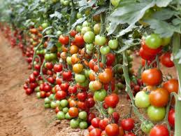 Image result for tomatoes plants