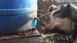barrel pig waterer