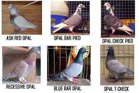 Roller Pigeon Color Chart Recessive Red Racing Homer Pigeon Www Imghulk Com