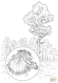 Coloring Page Of Longleaf Pine Tree
