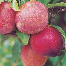 GMOs Invade Fruit Industry Apples Pears Cherries And Peaches To Non Gmo Fruit Trees For Sale