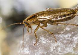 Cockroach Pest Control - Patriot Pest Solutions