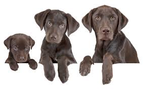 Image result for puppy, adult, and senior