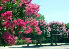 Visit the Crape Myrtle Trails - Crape Myrtle Trails of McKinney, Texas