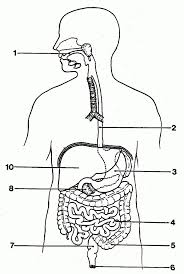 Diagram of the digestive system with labels 2018 world of diagrams rh tendollarbux digestive system diagram to label ks2 digestive anatomy labeling