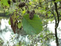 Alnus glutinosa - Wikipedia