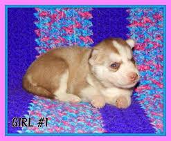 beautiful siberian husky puppies for