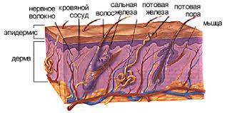 Кожа её строение и функции Энциклопедия красоты Строение кожи