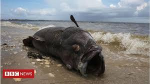 Red Tide Florida Powerless To Stem Killer Algae Bloom Bbc