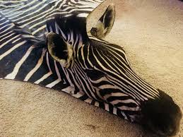 details about authentic south african zebra skin rug hide with head mounted custom work