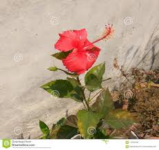photo about a lovely looking red jasmine flower bloomed in the summer morning at the roof top garden image of garden blossom bloomed 113254538