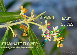 Olive Flowering Pollination And Fruit Set Factors The
