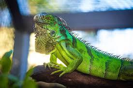 Tafsir Mimpi Memelihara Iguana